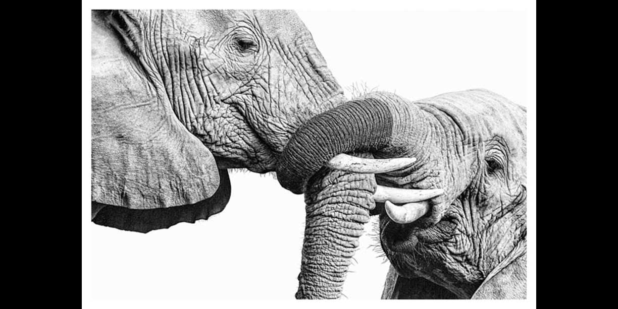 Black and white fine art print of elephant portrait