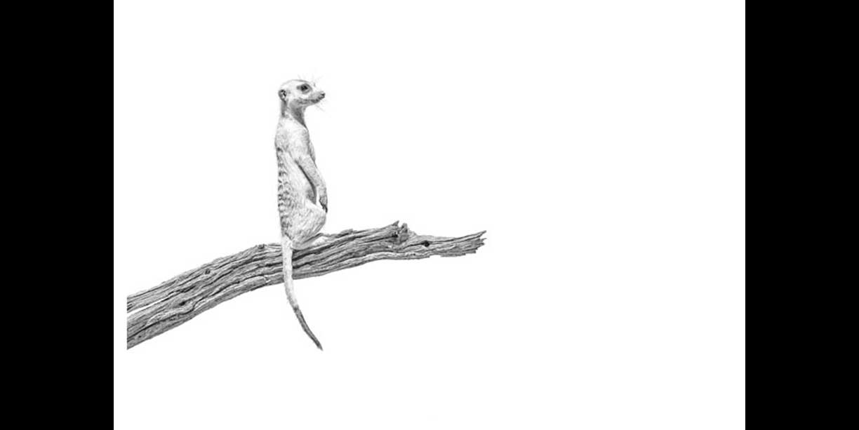 black and white fine art image of meerkat or suricate