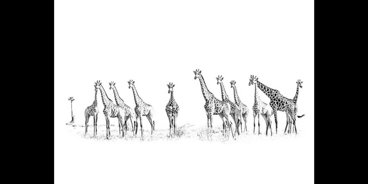 black_and_white_african_wildlife_image_of_giraffe_herd