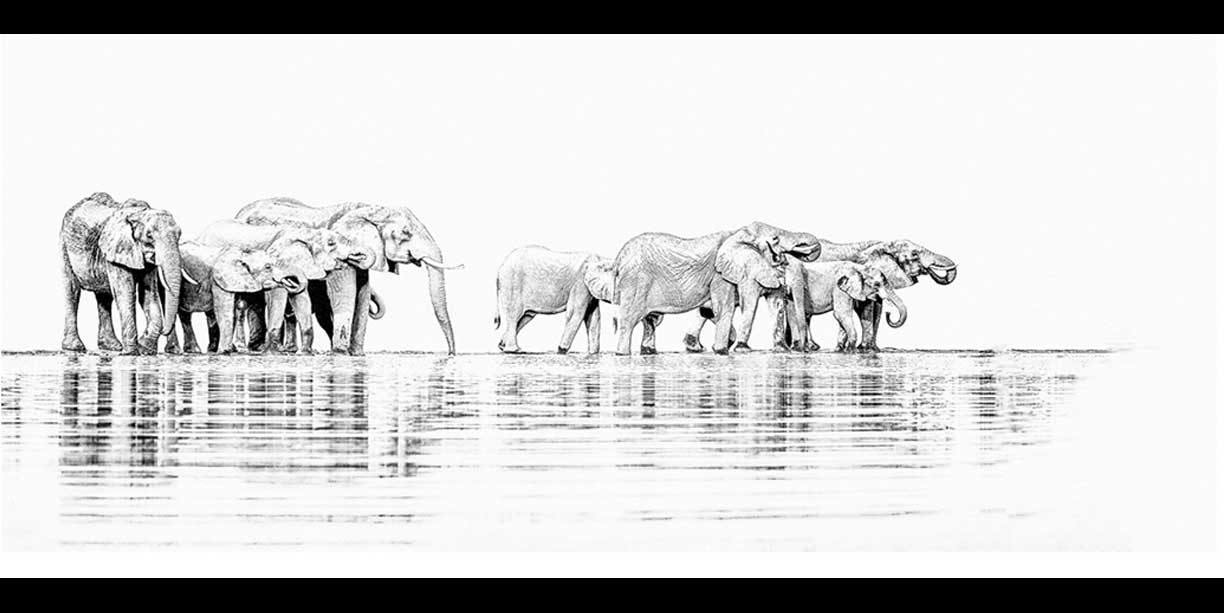 Black and white panoramic print of elephants drinking