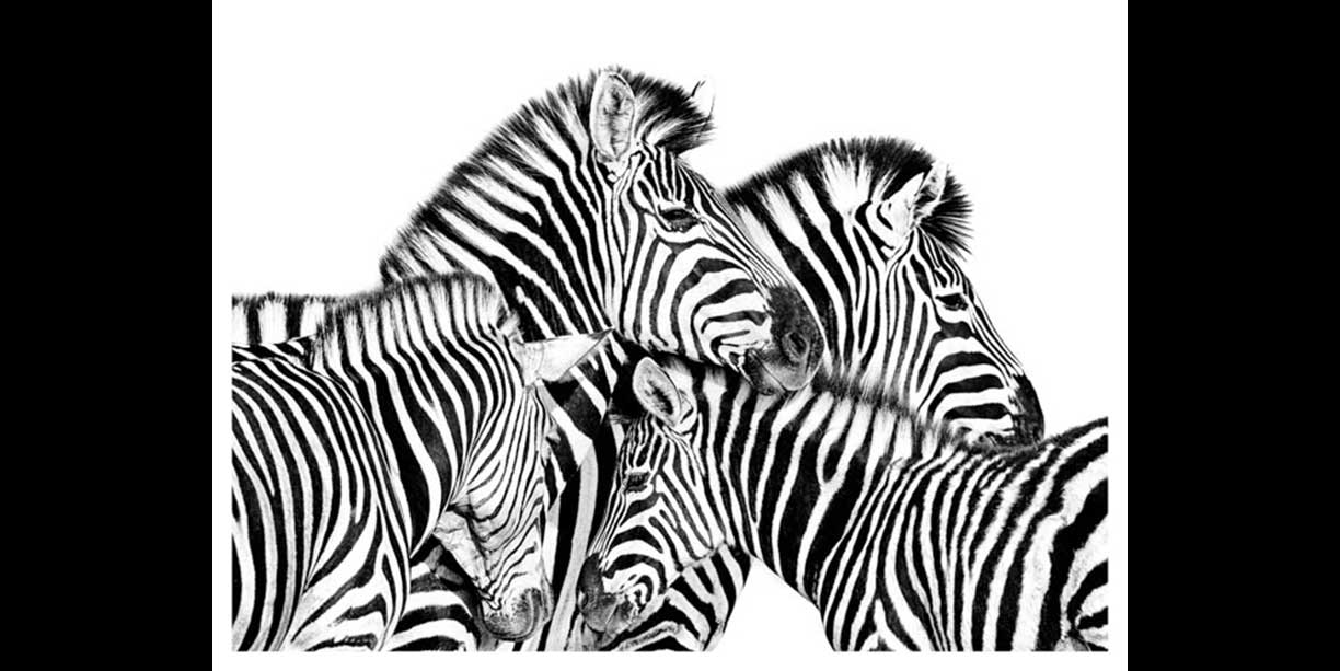 Black and white portrait of a zebra herd