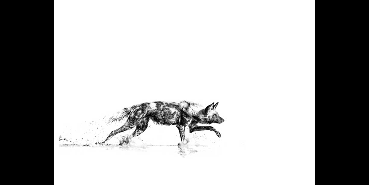 Black and white photo of an African wild dog stalking in water