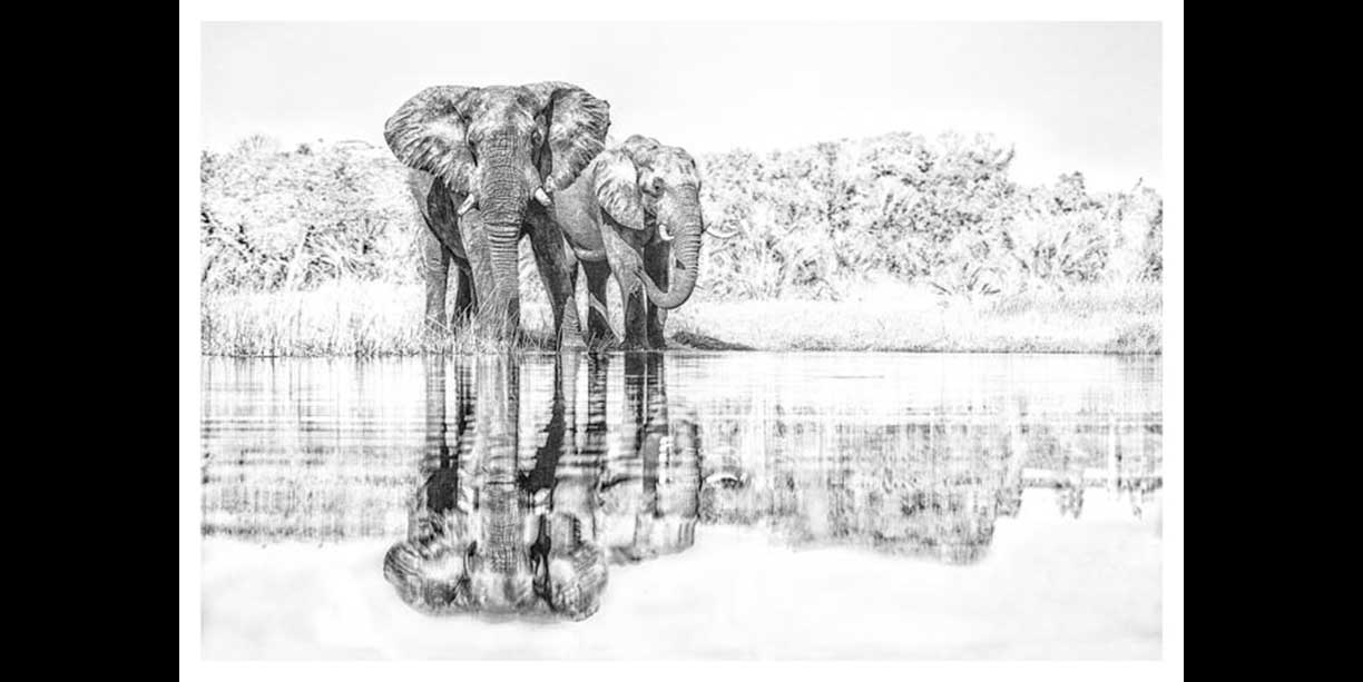bw image of elephant bulls drinking
