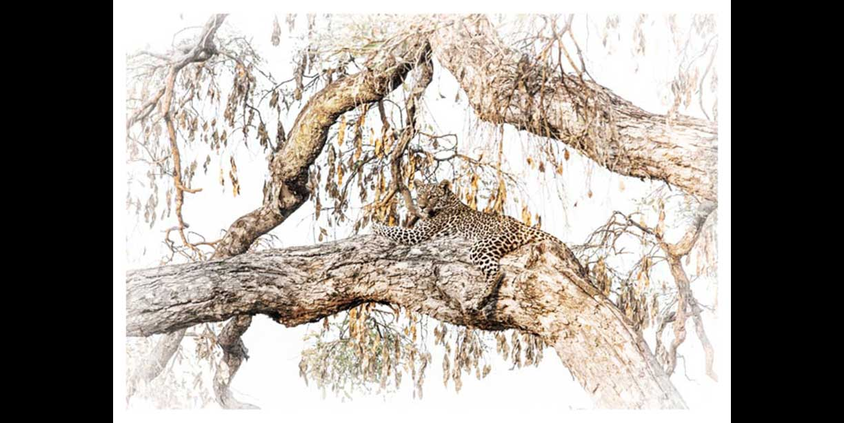 Fine art print of a leopard in a tree