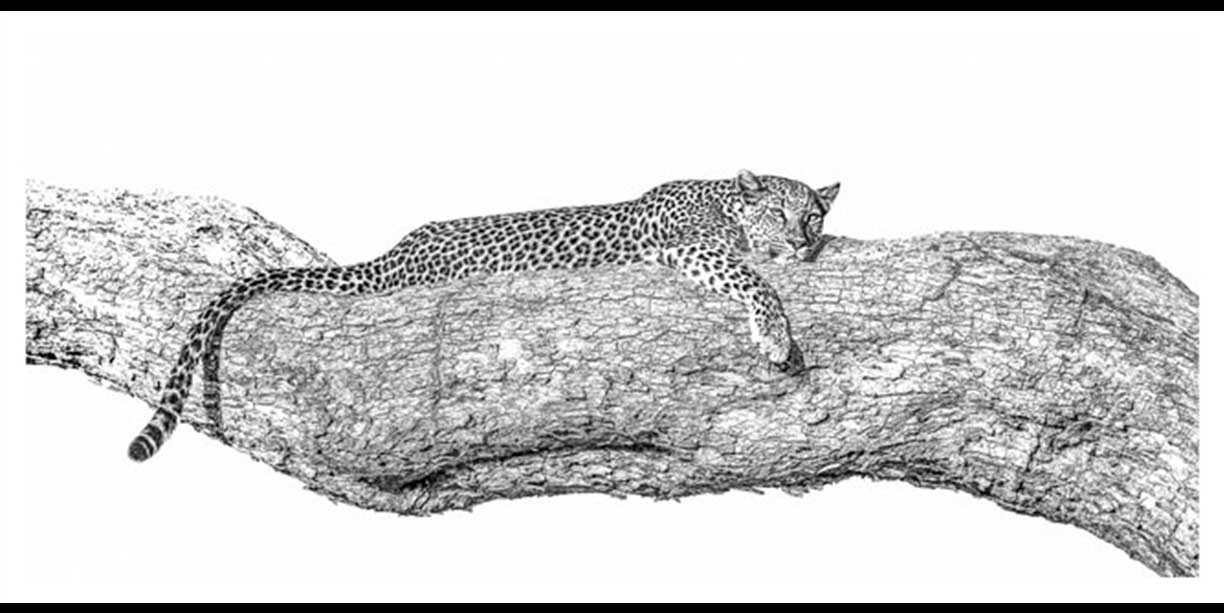 Leopard taking a siesta on a branch