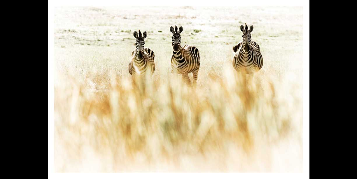Zebra herd through grass