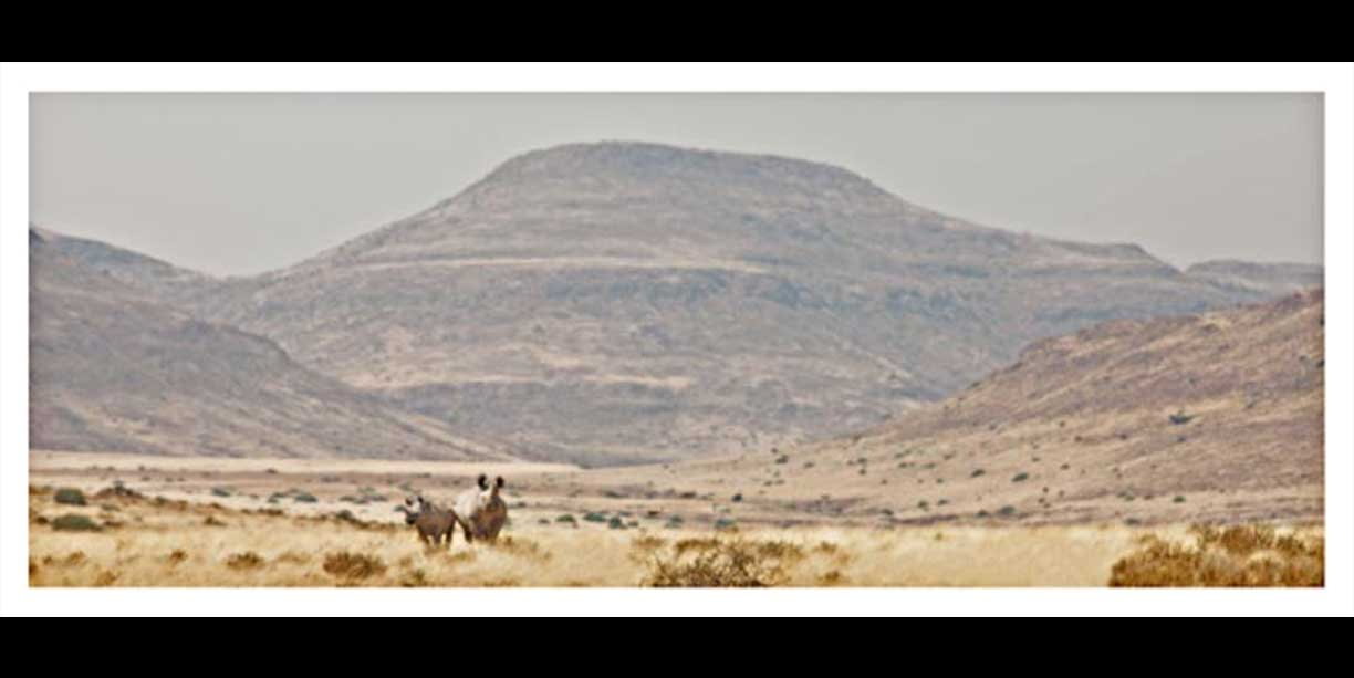 Panoramic of desert adapted rhino in landscape