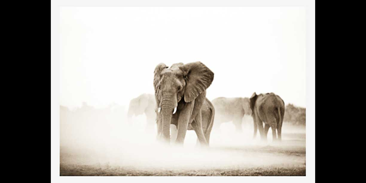 Elephant herd in dust