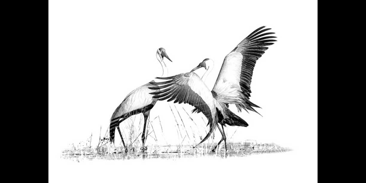 Wattled Crane Display